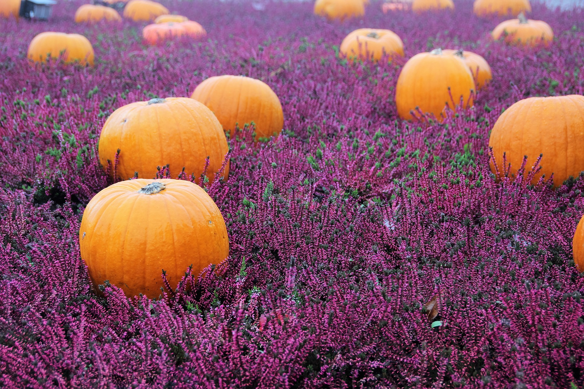pumpkins and lavender