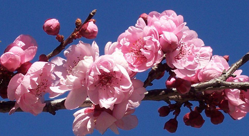 Kalinda's Plum Blossoms