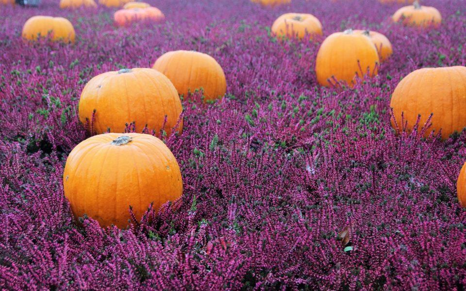 pumpkins and lavender